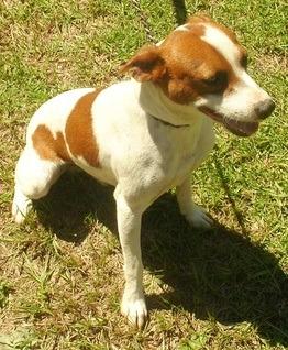 Bonnie's Rat Terriers :: Our Rat Terriers